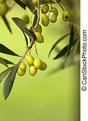 Olive Branch - Olive branch on an organic farm garden tree