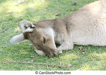 Kangaroo Animal in the Wild at Australia