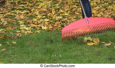 Raking fallen colorful leaves with rake tool in autumn...