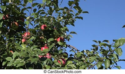 Red ripe apples grows on branch green foliage against blue sky. Tilt down. 4K