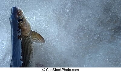 Caught fish helpless - suffice mouth air - Caught grayling...
