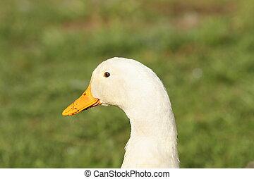 domestic white duck portrait