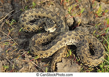 female meadow adder in natural habitat