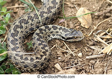 female meadow viper in natural habitat