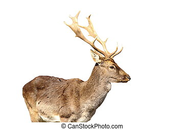 isolated young fallow deer male - young fallow deer male...