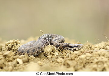 male hungarian meadow viper on the ground Vipera ursinii...