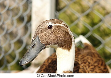 portrait of indian runner duck at the farm Anas...