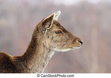 profile view of deer hind head, portrait of fallow deer doe...