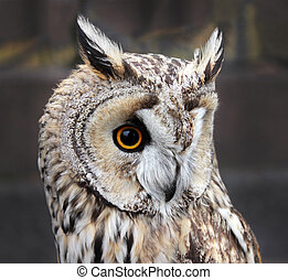Small Boreal Owl - The Boreal Owl. In Europe, it is...