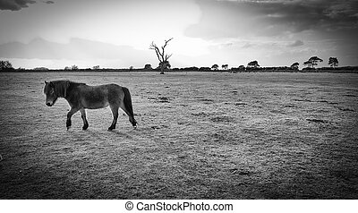 New Forest Pony
