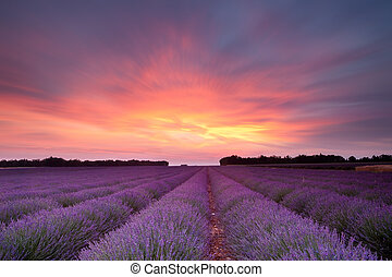 Sunset lavender - Sunset over a summer lavender field in...