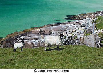 Blackfaced sheep on Isle of Lewis - Scottish sheep as found...