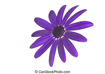 Senetti Deep Blue head - Flower Senetti Deep Blue, isolated...