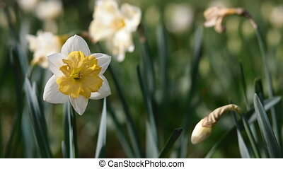 Bloom of narcissus in the garden in evening light Place for...