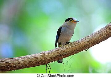 Silver-breasted Broadbill (Serilophus lunatus) in...