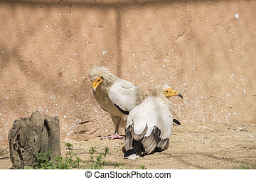 Neophron percnopterus, Egyptian vulture