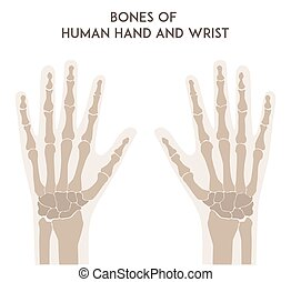 Bones of human hand and wrist. Medically accurate vector...