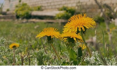 yellow dandelions green grass summer video nature landscape...
