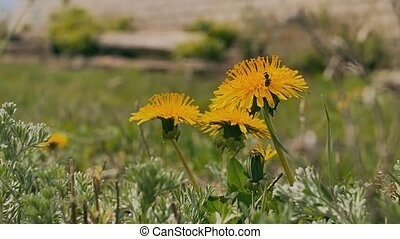 yellow dandelions green video grass summer nature landscape...