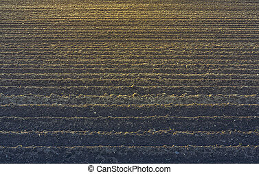 Plowed soil - Straight rows of plowed soil for potatoes...