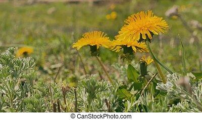 yellow dandelions green grass summer nature landscape video...