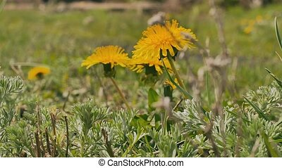 yellow dandelions green grass summer nature video landscape...