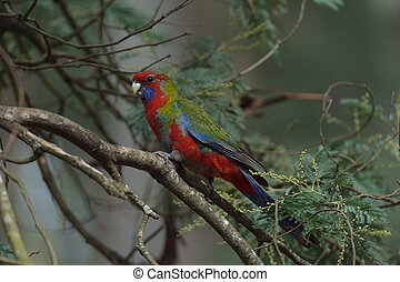 king parrot is preying on the tree