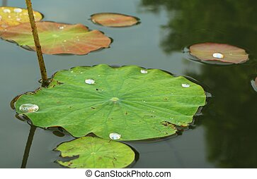 Water Lily leaf - The Water Lily leaf stock photo Wallpaper...