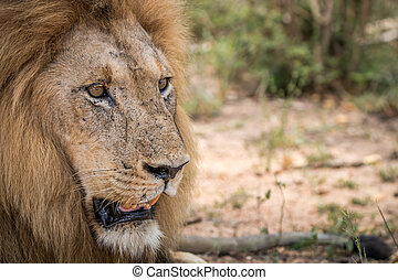 Starring Lion in the Kruger National Park - Starring Lion in...