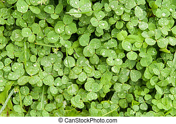 four leaf clover background nature