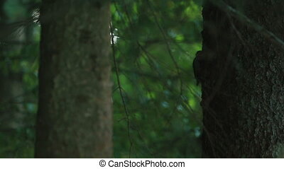Closeup of little woodpecker knock in trunk tree for insect...