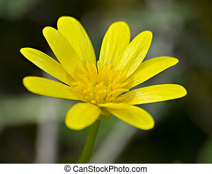 Single small yellow flower with many petals Lesser Celandine...