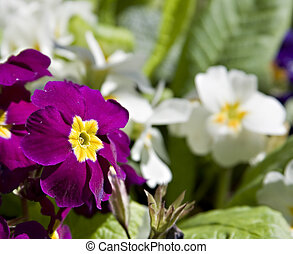 Pansies in the spring sunshine