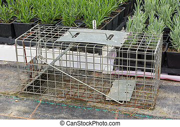 Cage type humane rat trap - Steel humane rat trap set up in...