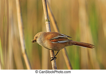 Bearded reedling with food for chicks in its beak, spring...