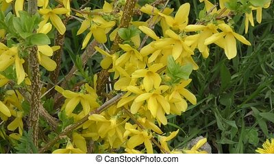 Yellow flowers Forsythia in spring day