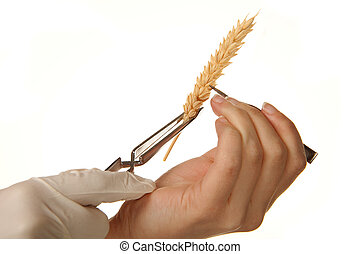 Wheat experiments - Hands experimenting with wheat in a...