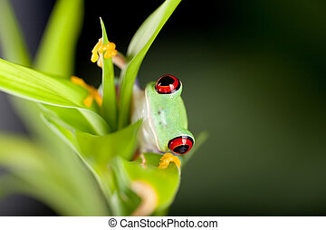 Red eyed frog in nature