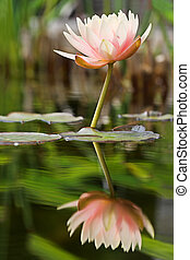 Reflected serenity - Reflected water lily