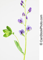 Purple flowers of baptisia