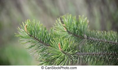 pine branch with the young buds - A pine branch with the...