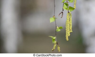 birch branch with catkins in early spring - birch branch...