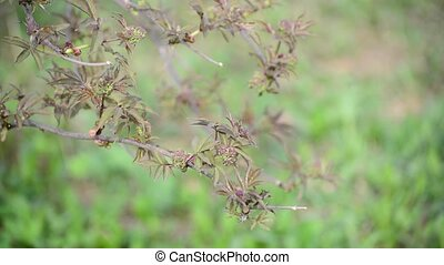 Brush is not full-blown elderberries in the early spring -...
