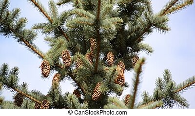 The top of  large blue spruce cones