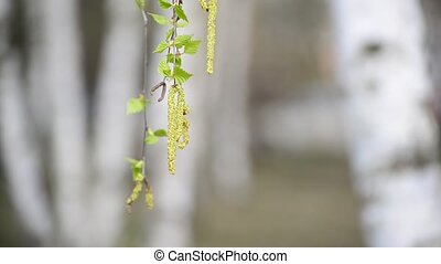 birch branch with catkins in early spring