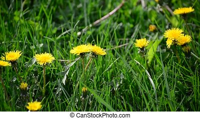 spring yellow dandelions in breeze - spring yellow...