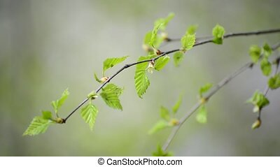 Young spring leaves on birch tree in the wind - Young spring...