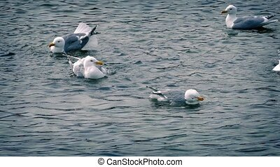 Seagulls Basking In The Water - Seagulls bask and clean...