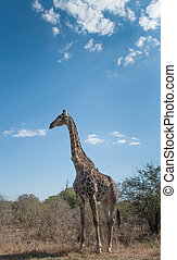 Giraffe in Kruger National Park - Giraffe standing in...
