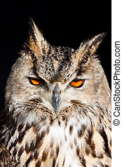Royal owl - Bubo Bubo - Royal owl: complete classification...
